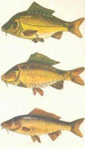 El pez carpa y sus propiedades
